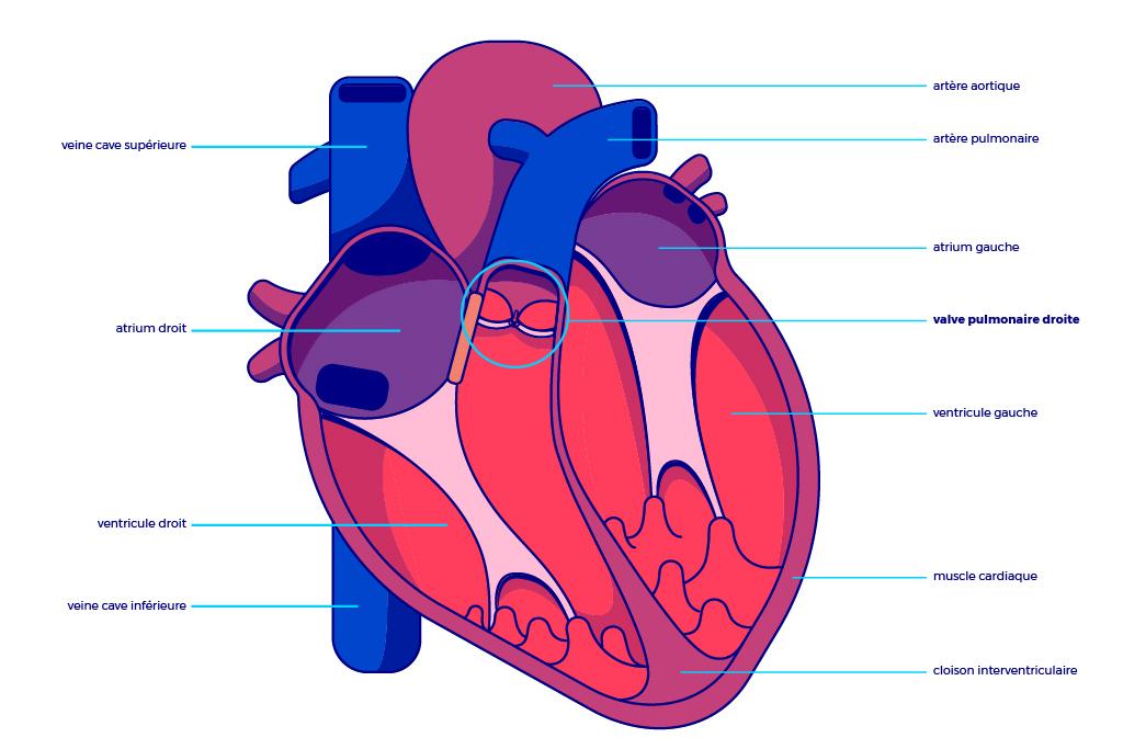Wunderbar Herzkörperbild Zeitgenössisch - Menschliche Anatomie ...